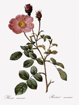 Single Moss Rose