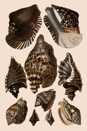 Brown Conch Variations