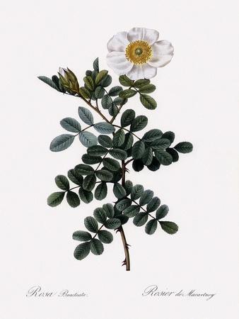 Maccartney Rose