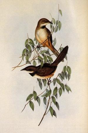 Noisy Scrub-Bird, Atrichornis Clamosus