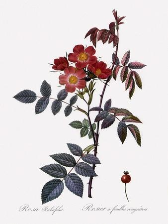 Red-Leaved Rose