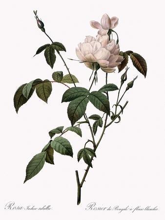 White China Rose