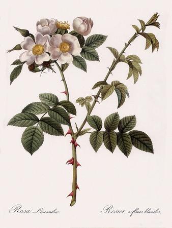 White Flowered Rose