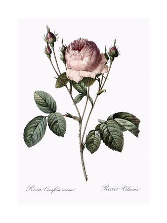 Vilmorin Rose