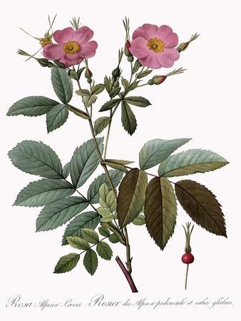 Rosa Alpina Laevis