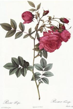 Turnip Roses, Rosa Rapa Flore Semipleno