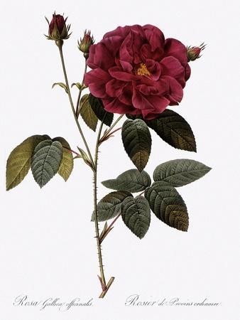 Common Provins Rose