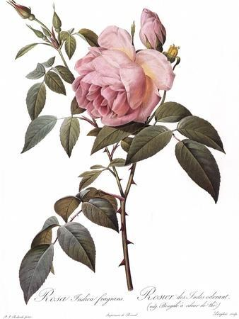 Scented Rose of India, Rosa Indica Fragrans