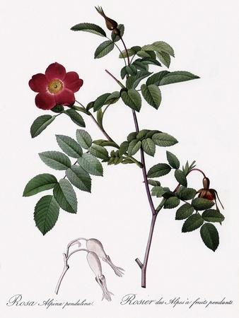 Alpine Rose Varietal
