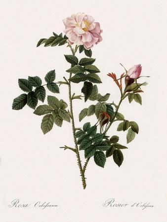 Orbessan Rose, Rosa Orbessanea