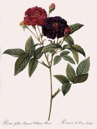 Van Eeden's Rose
