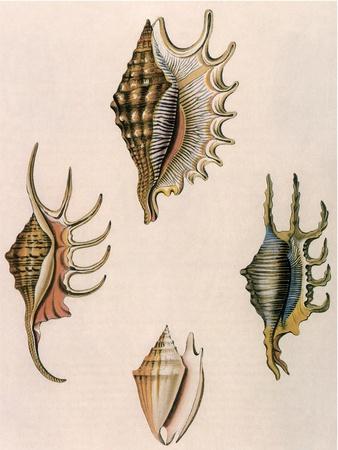 Spider-Conch Shells