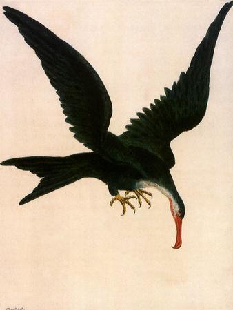 Greater Frigate Bird, Fregata Minor