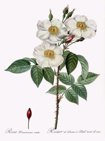 Blush Damask Rose, Rosa Damascena Subalba