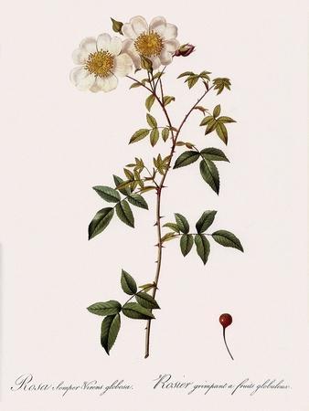 Round-Fruited Evergreen Rose
