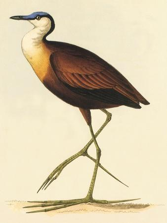African Jacana, Actophilornis Africanus