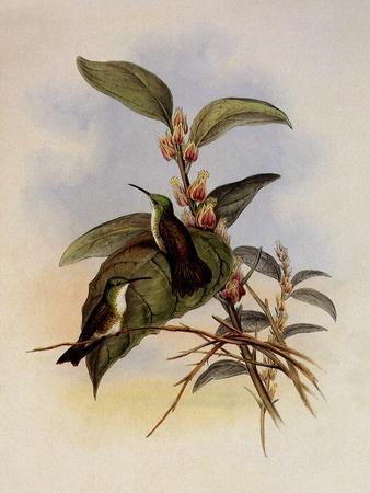 Snowy-Breasted Emerald, Thaumatias Chionopectus