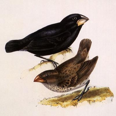 Large Ground Finch, Geospiza Magnirostris