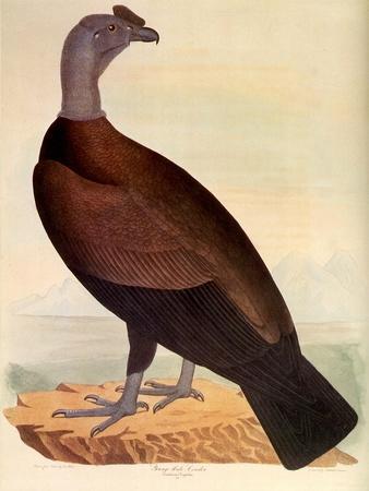 Andean Condor, Vulur Gryphus