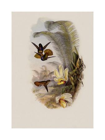 Elicia's Golden-Tail, Chrysuronia Elici?