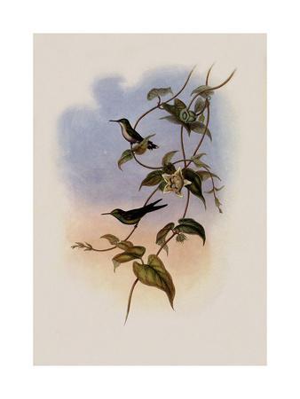 Mauge's Hummingbird, Sporadinus Maug?i
