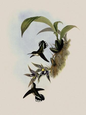 Pied-Tailed Hummingbird, Phlogophilus Hemileucurus