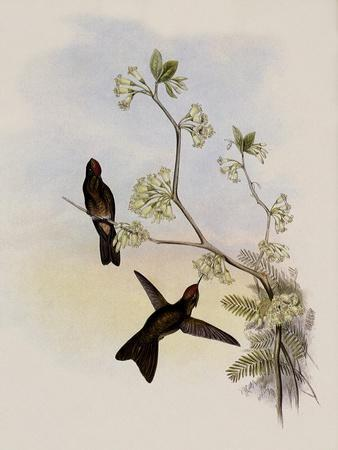 Red-Capped Thorn-Bill, Ramphomicron Ruficeps
