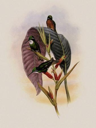 Grey-Tailed Hummingbird, Oreopyra Cinereicauda
