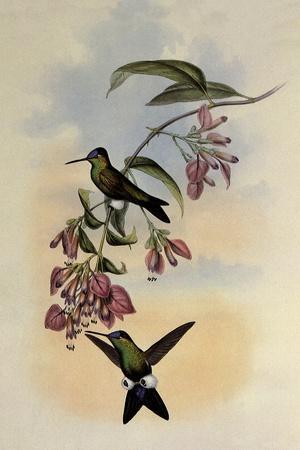 D'Orbigny's Puffleg, Eriocnemis D'Orbignyi
