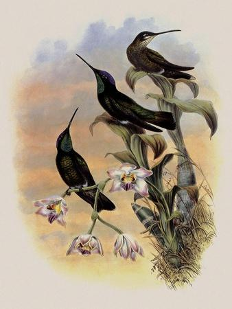 Costa Rica Hummingbird, Eugenes Spectabilis