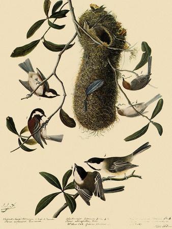 Bushtits and Chickadees