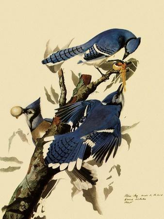 Bluejays Feeding