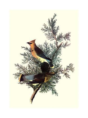 Pigeon Hawks