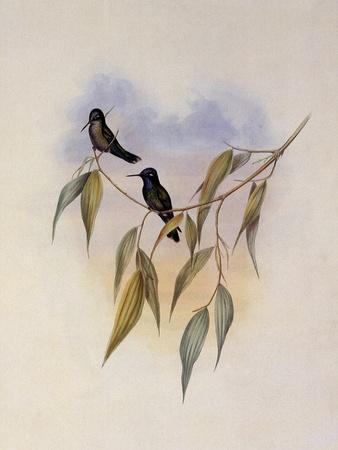 Guimet's Flutterer, Klais Guimeti
