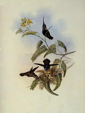 Loddiges' Plover-Crest, Cephalepis Loddigesi