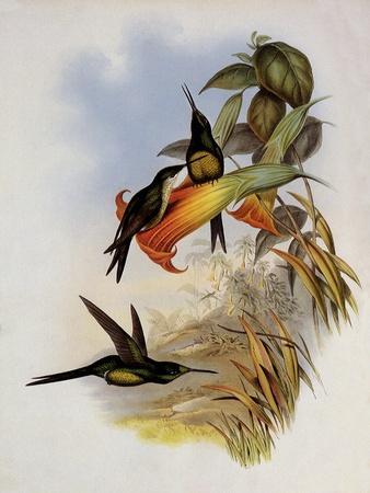 Empress Hummingbird, Eugenia Imperatrix