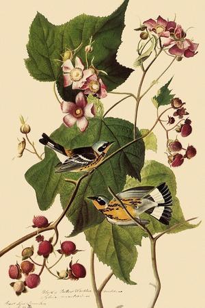 Magnolia Warblers