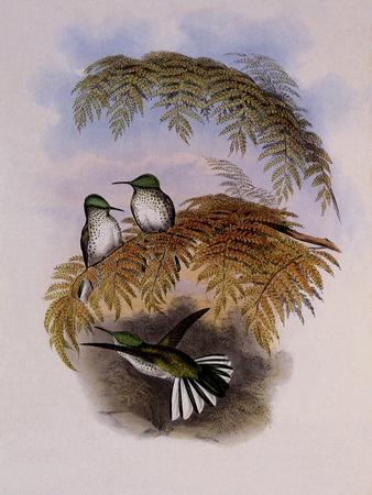 Stokes Hummingbird, Eustephanus Stokesi