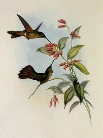 Equatorial Lilac-Throat, Phaiolaima Aequatorialis