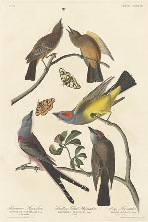 Arkansaw Flycatcher, Swallow-tailed Flycatcher and Says Flycatcher, 1837
