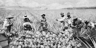 Scene on a pineapple plantation, with harvested pineapples, Hawaii, c.1910-25