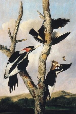 Ivory-billed Woodpeckers, c.1830-31