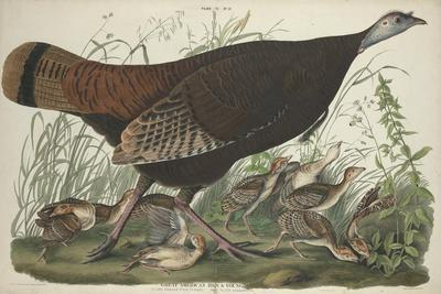 Great American Hen and Young, 1827