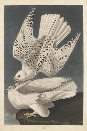 Iceland or Jer Falcon, 1837