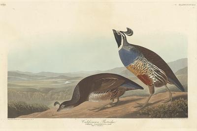 Californian Partridge, 1838