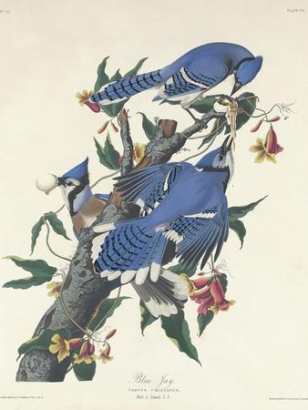 Blue Jay, 1831