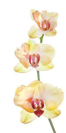 Backlit Orchids against white background