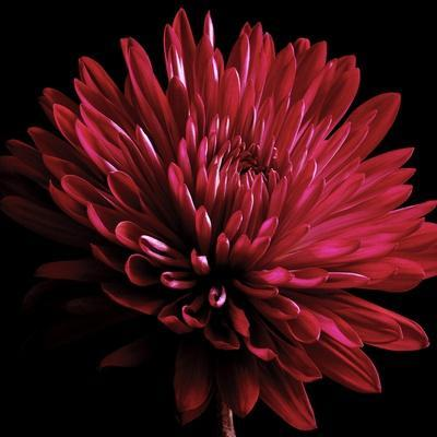 Red Chrysanthemum on Black
