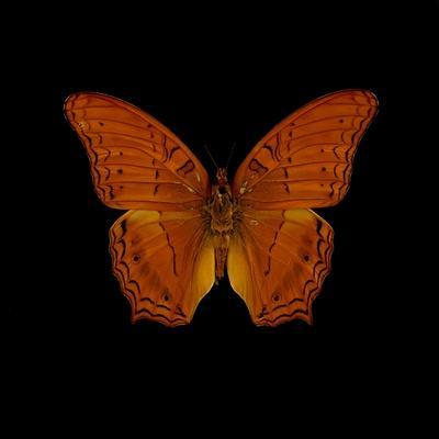 Orange Butterfly on Black