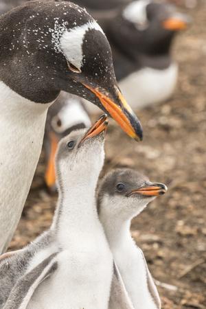 Falkland Islands, Sea Lion Island. Gentoo penguin with chicks.